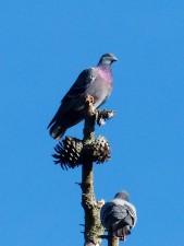 rocky, pigeon, bird, branch