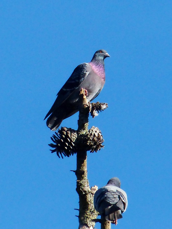 Free photograph; rocky, pigeon, bird, branch