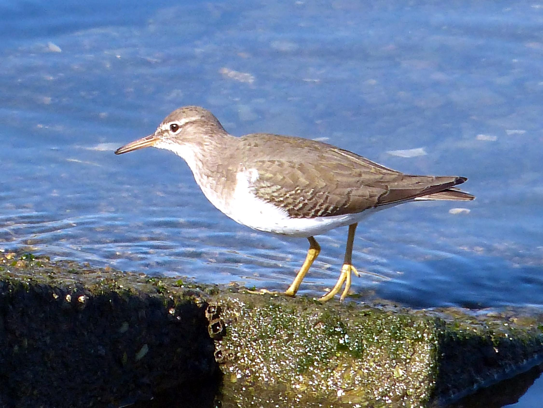 Free photograph; sandpiper, bird, animal, shore