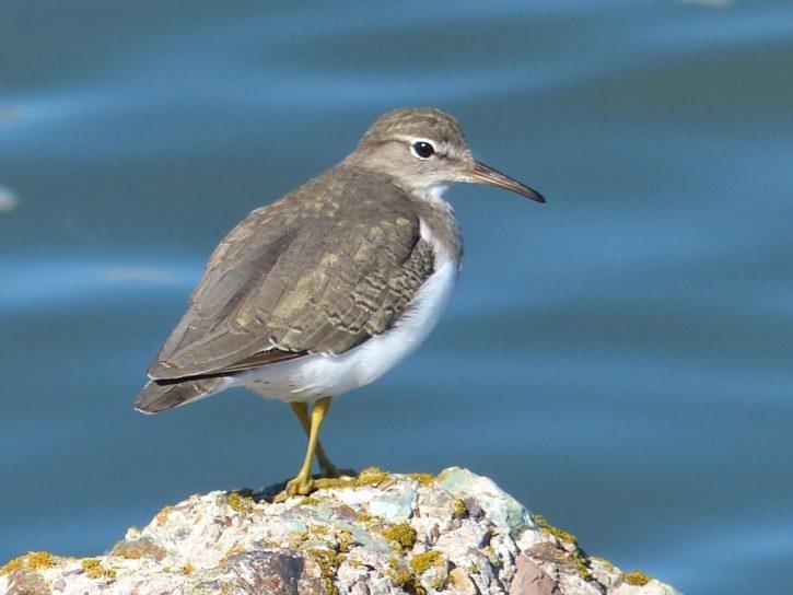 sandpiper, medium, sized, shorebird, bird