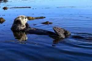 sea, otter, swim, back