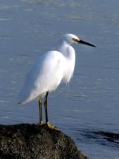 neigeux, ggret, oiseau, élégant, héron blanc, oiseau, l'eau, oiseau
