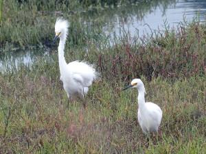snowy, egret, birds, pair, marshland