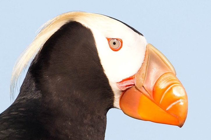 tufted, puffin, head, bird, portrait, close