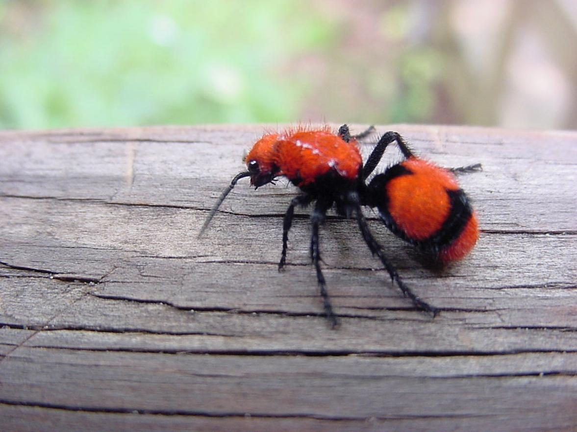 Free photograph; velvet, ant, insect, log