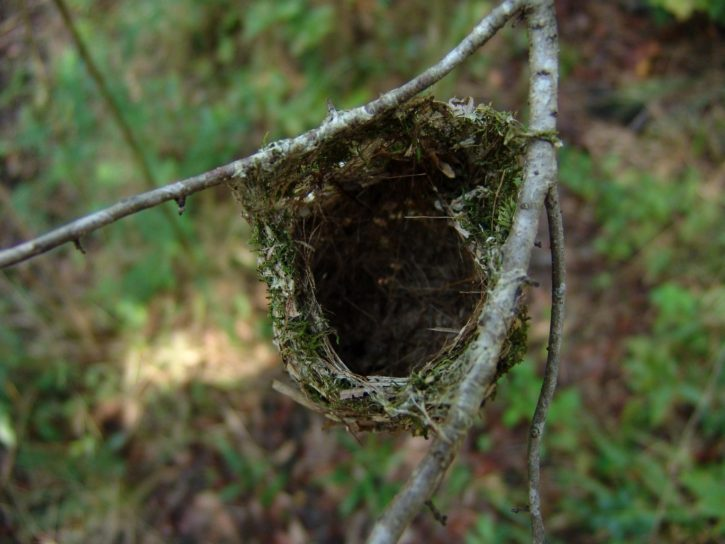 warbling, vireo, forest, nest