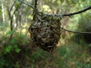 warbling, vireo, songbird, nest