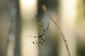 web, spinning, Golden, silk, orb, weavers