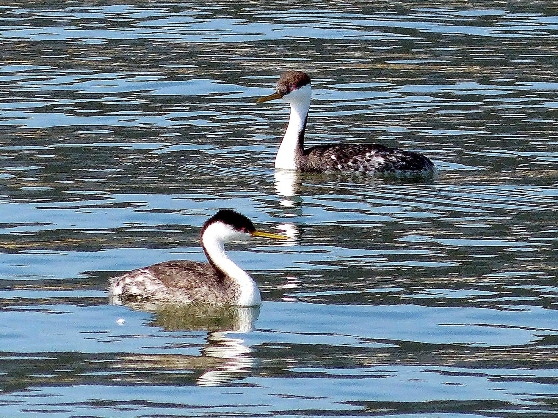 Free photograph; western, grebe, birds, breeds, lakes, ponds