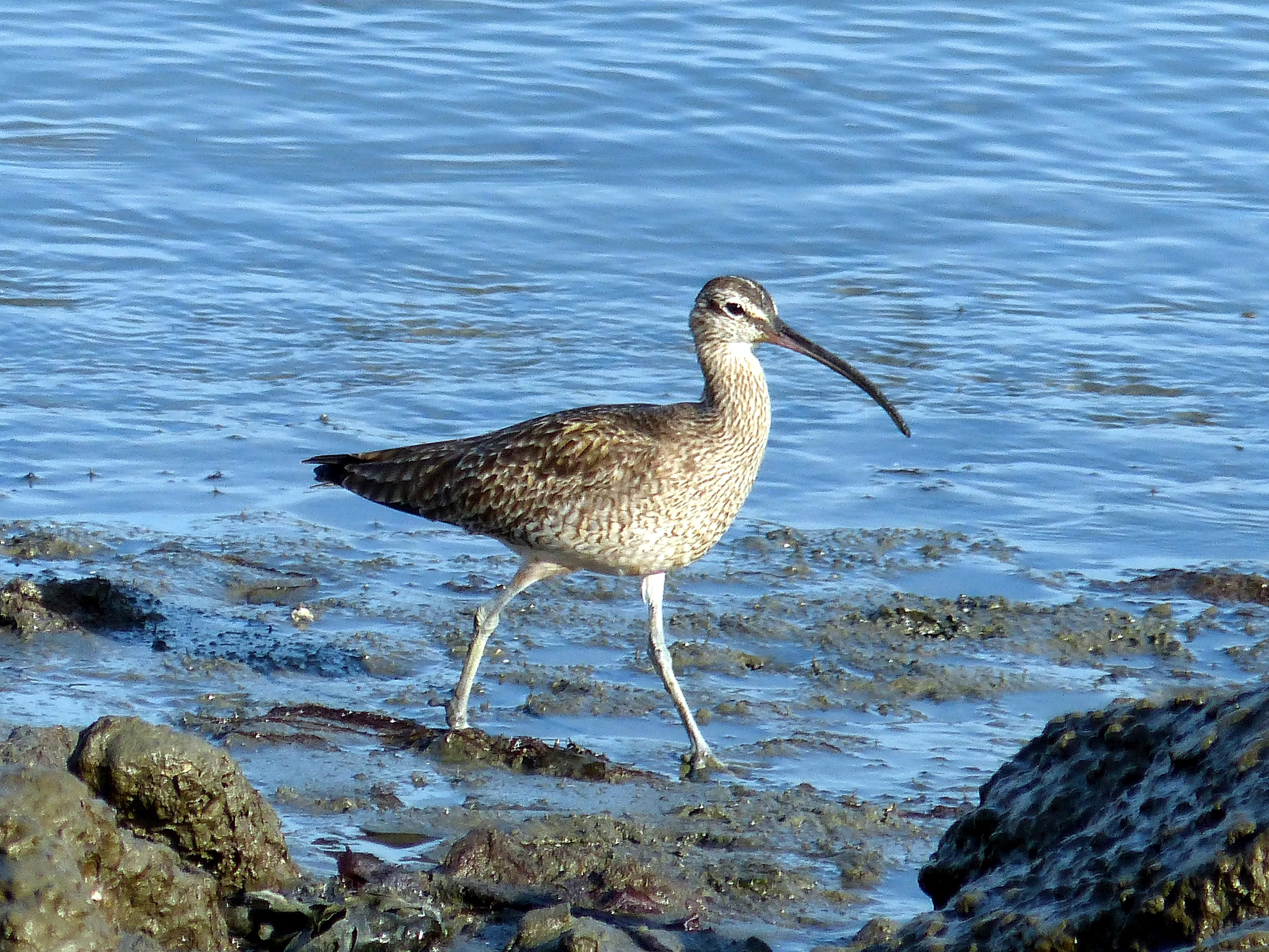 Free photograph; whimbrel, sandpiper, bird, shore