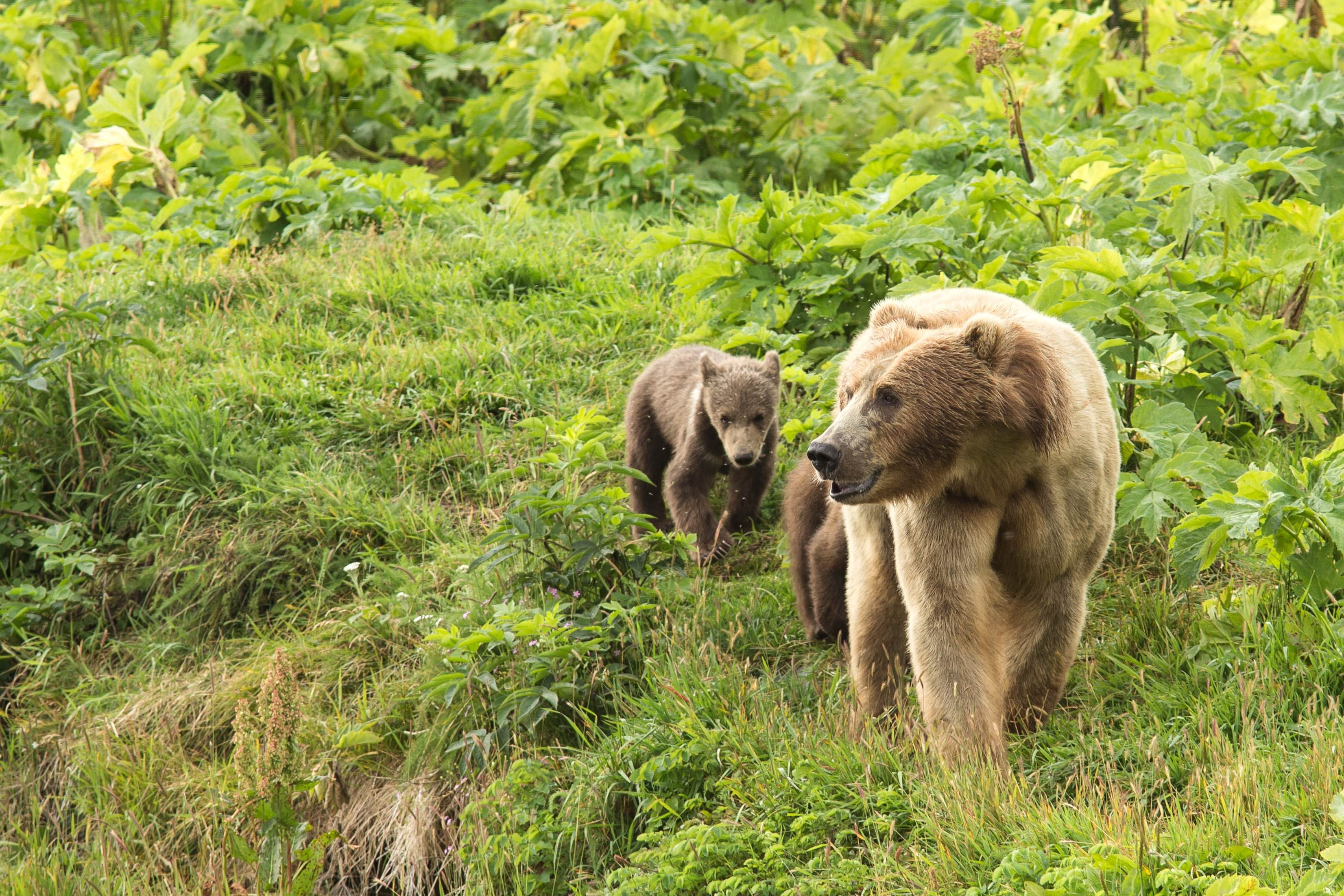 Free photograph; wild, brown, bear, sow, cub, nature