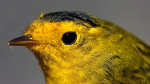 wilson, warbler, small, bright yellow, bird