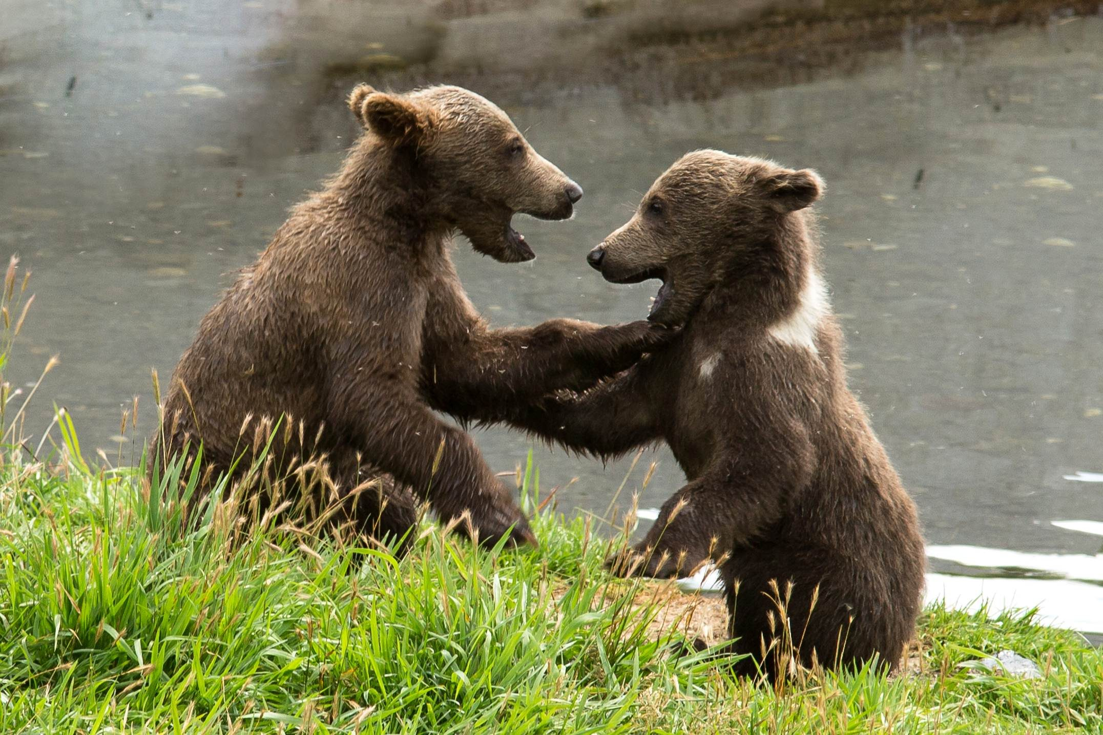 Free photograph; wrestling, between, two, brown, bears
