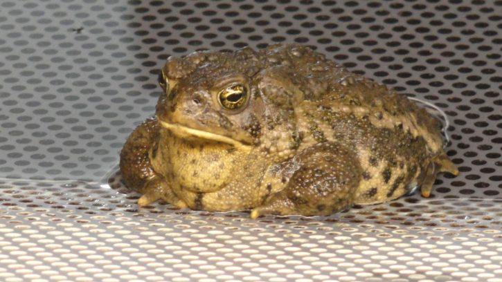 wyoming, toad, yellowish, frog, amphibian, animal