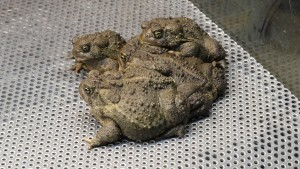 wyoming, toads, frog, amphibians, grouping, together