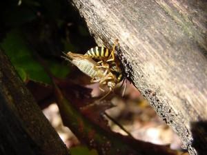 amarillo, chaqueta, insecto, avispa, la captura