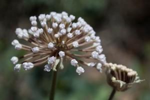 abronia, fragrans, nisip, verbena, floare, floare