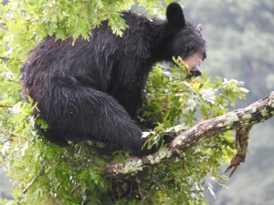 American, black bear, rests, tree, limb