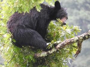 Amerikanac, crni medvjed, počiva, drvo, ud