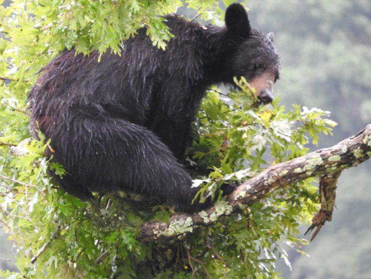 american, black, bear, rests, tree, limb