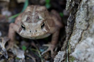 American toad, frog, head, up-close, forest