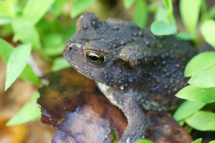 American, Toad, frog, amphibian, animal