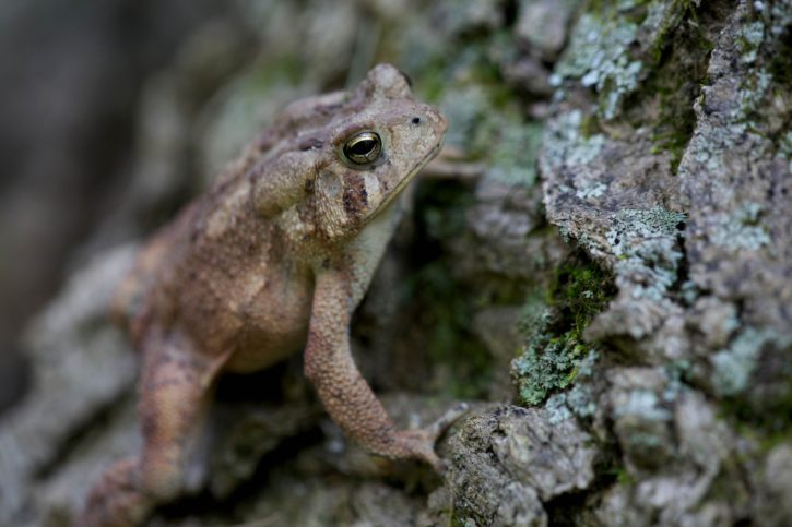 american, toad, tree, bark, cortex, wooded, forest