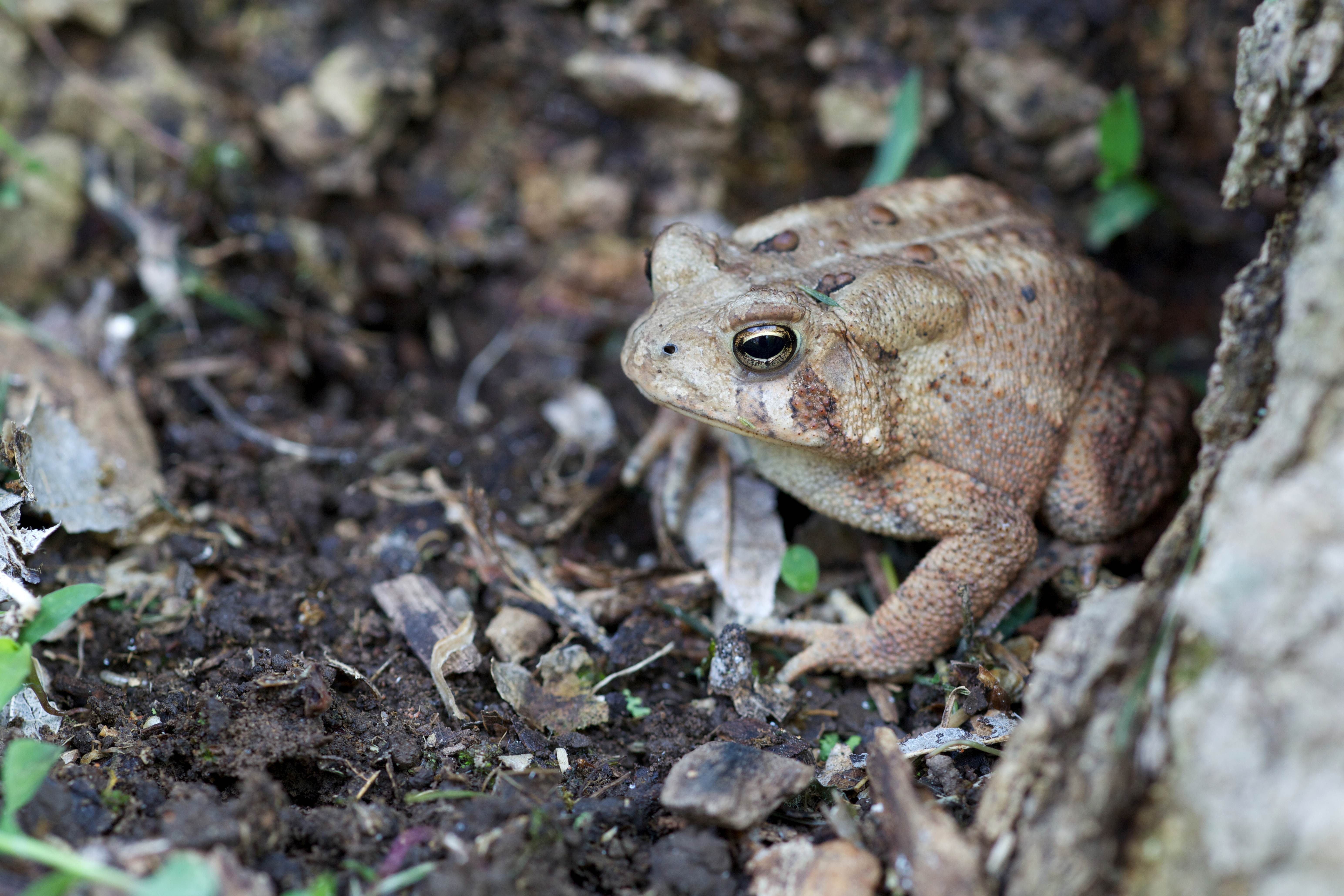 Free photograph; american, toad, wooded, forest, frog