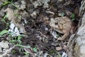 amphibia, American toad, frog, amphibian, animal