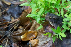amphibia, frog, amphibian, leaves, forest, American toad, frog