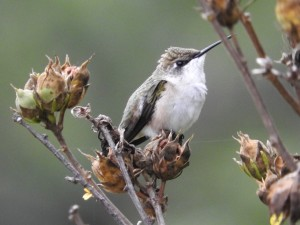 animal, bird, ruby, throated, hummingbird