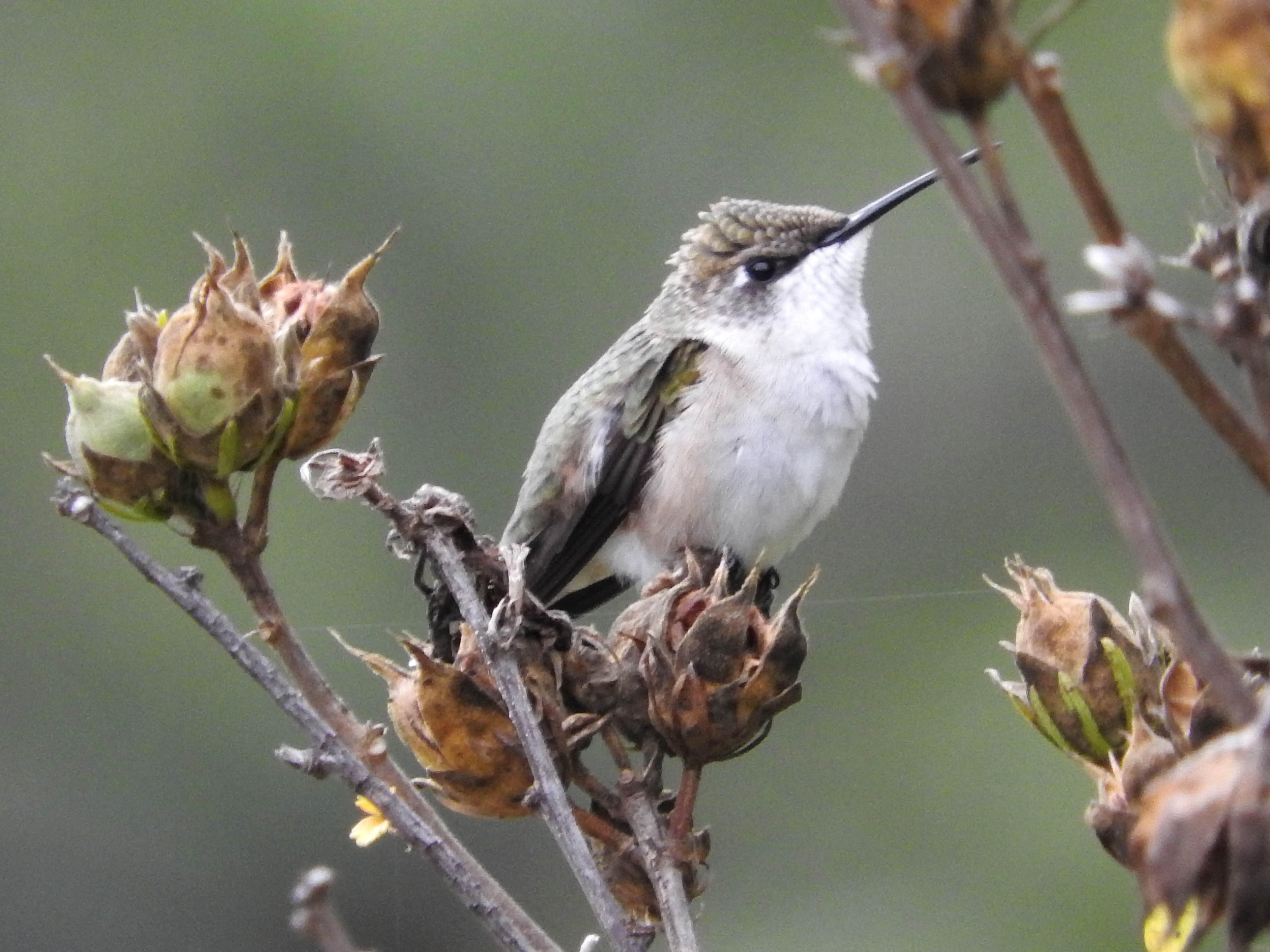 Free photograph; animal, bird, ruby, throated, hummingbird
