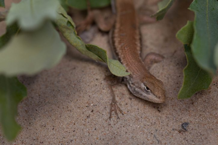 animal, dunes, sagebrush, lizard