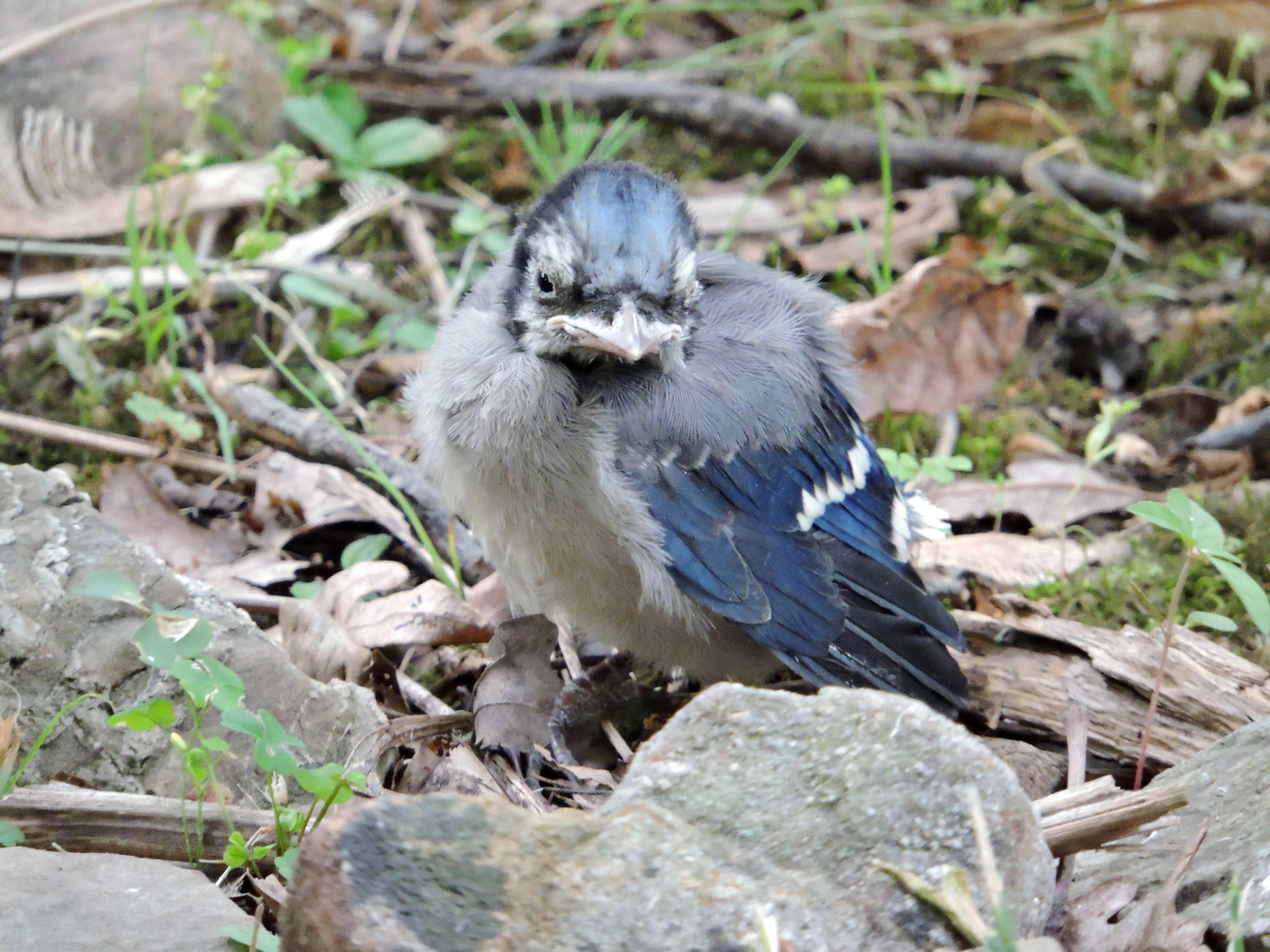 Free photograph; baby, blue, jay, bird, rocks