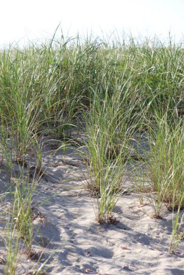 plage, herbes