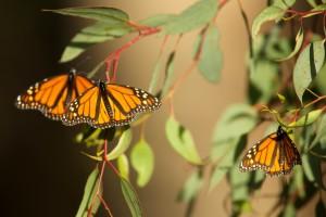 bellos, verano, la cría de mariposas,