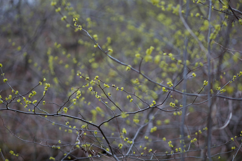 Free photograph; benjamin, bush, plant, bloom, meadow