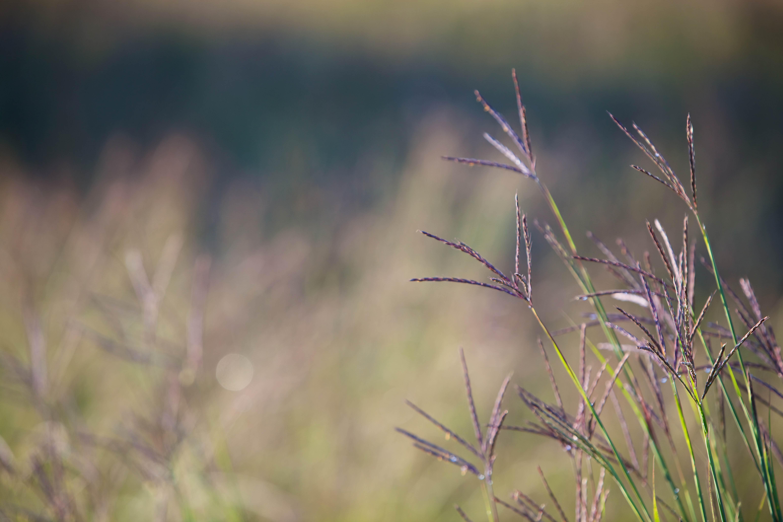Free photograph; big, bluestem, grass, native, perennial, warm, season, bunchgrass
