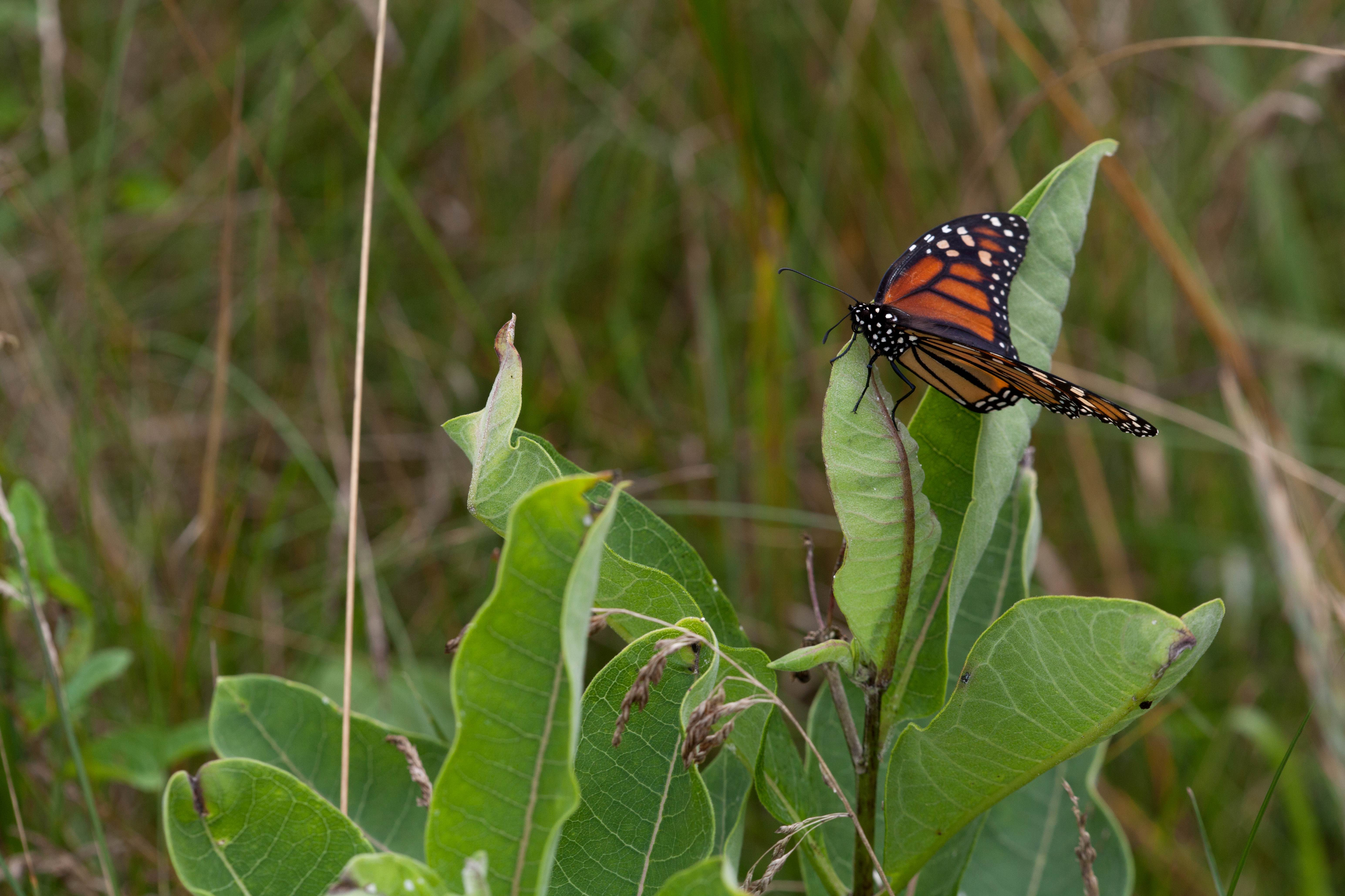 Free photograph; big, colorful, orage, butterfly, milkweed, plant