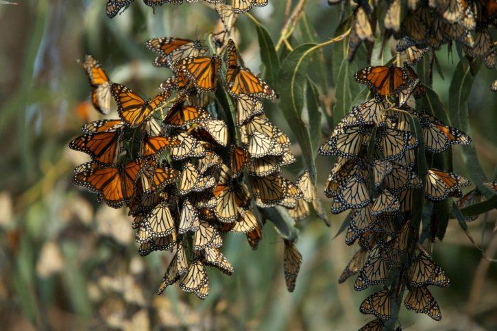 big, Monarch, butterfly, population