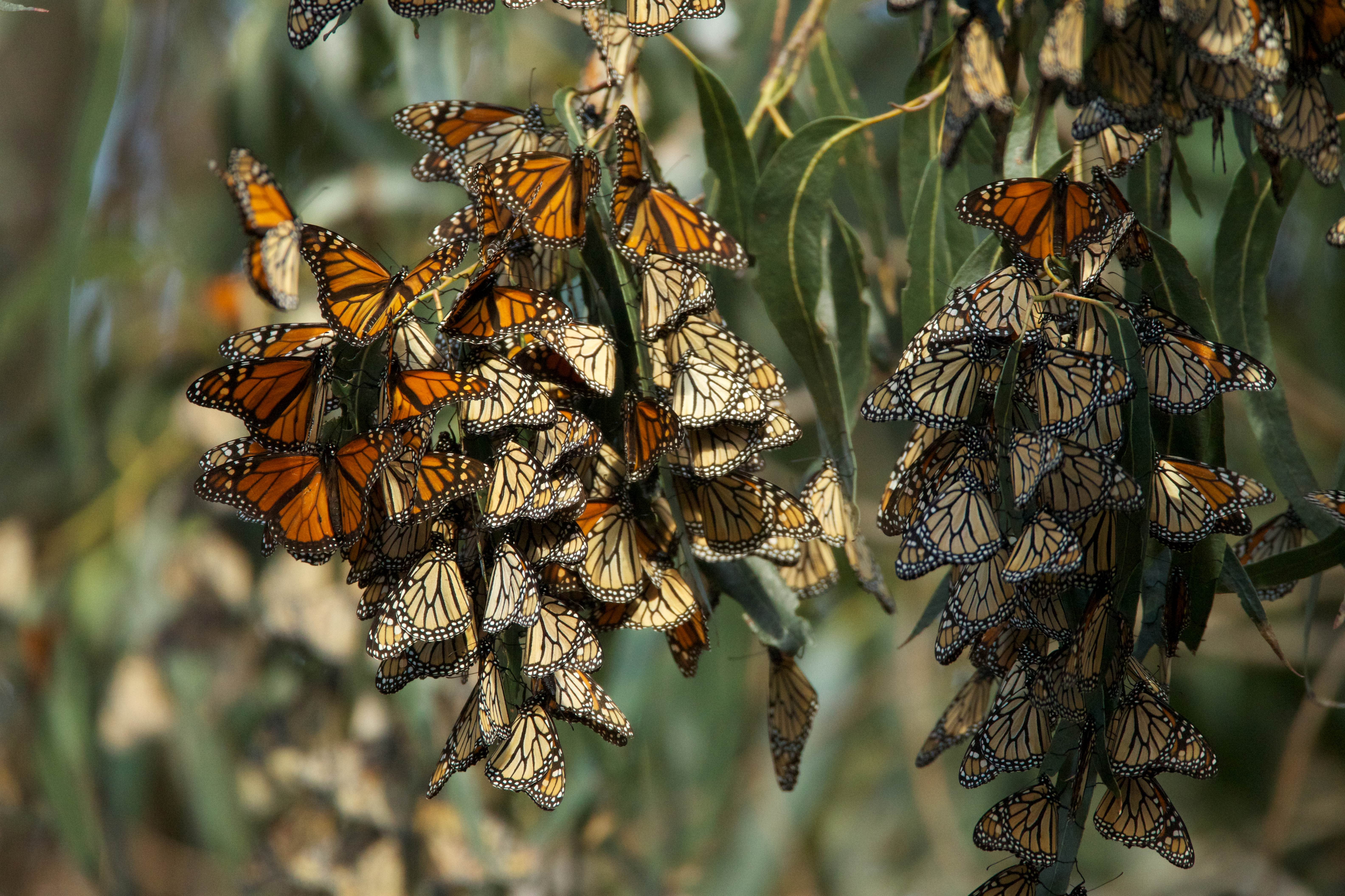 Free photograph; big, Monarch, butterfly, population