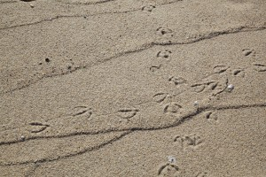 bird, animal, tracks, sand, beach