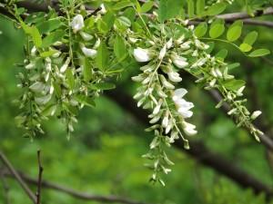 black, locust, blossoms, flowers