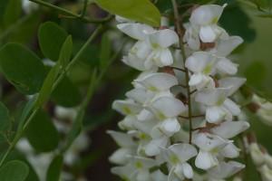 black, locust, flowers
