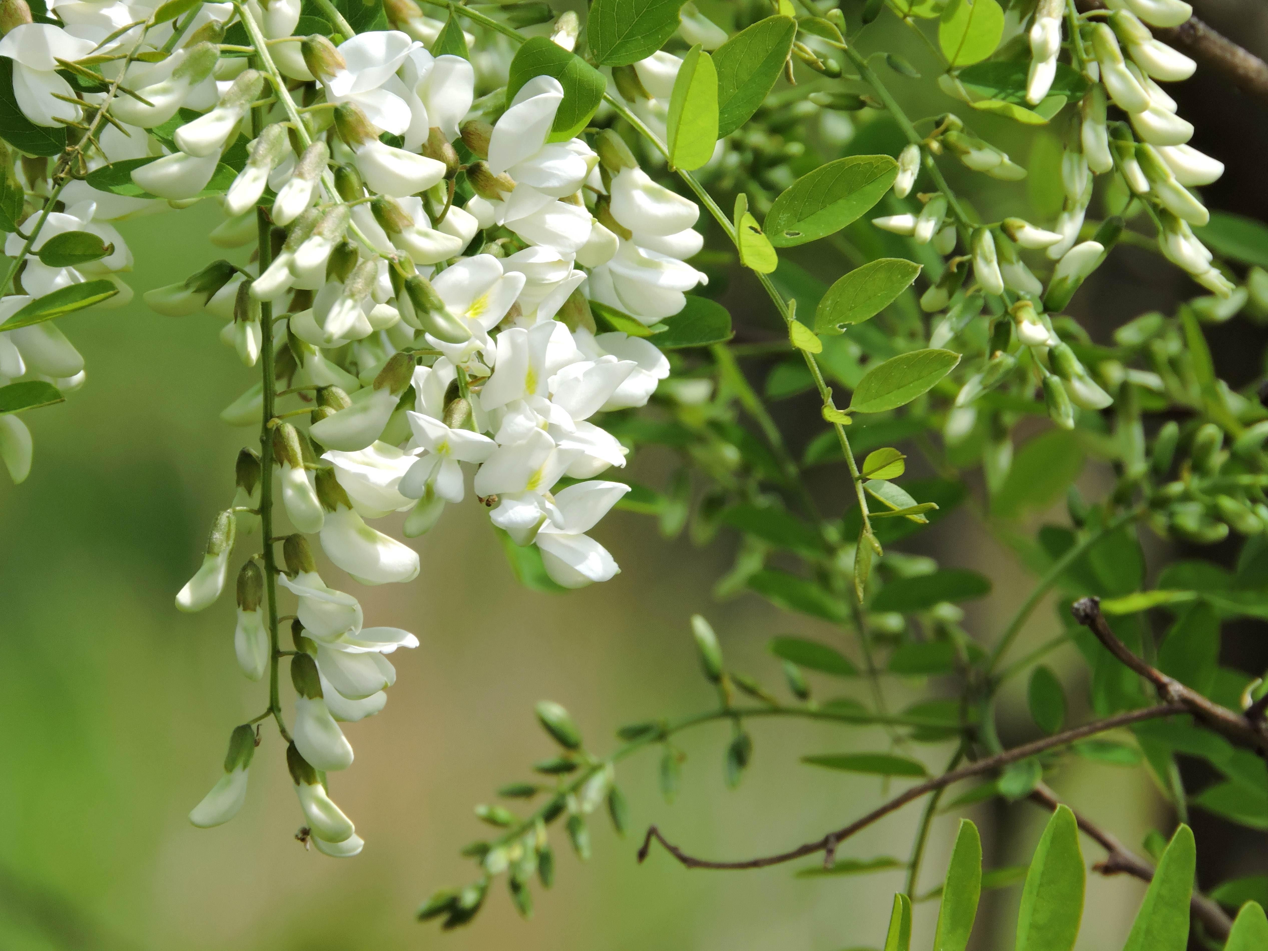 Free photograph; black, locust, flowers, cascading, branch