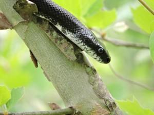 schwarz, Ratte, Schlange, Baum, Reptil, Kopf