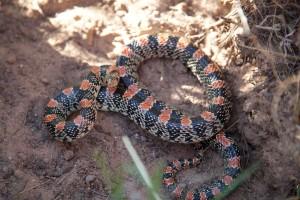 serpent, noir, rouge, long, nez