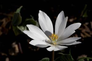 Bloodroot, Sanguinaria, canadensis, spring, blommande, örtartade, perenn