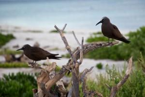 hnědá, noddies, středně velké, tmavé, hnědé, ptáci