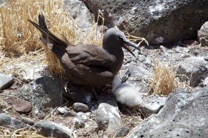 brown, noddy, nest, bird